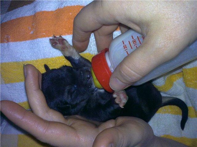 Для этого сцеживайте материнское молоко и понемногу давайте щенку.