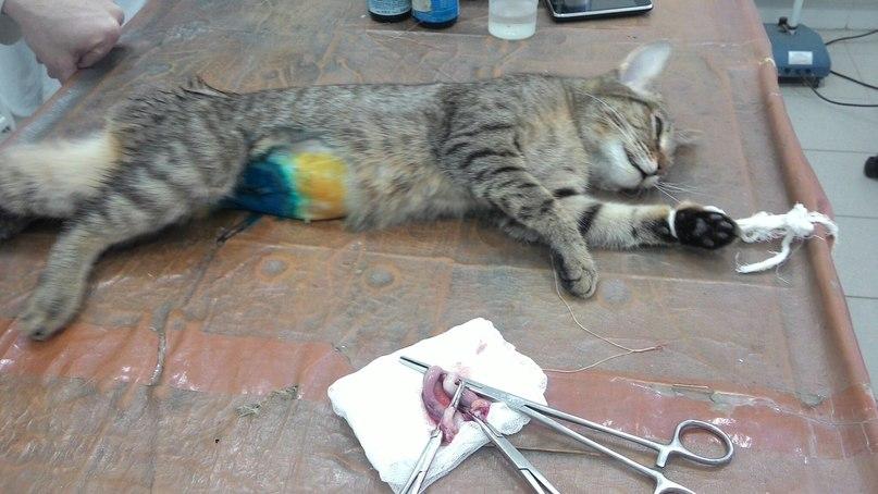 Кастрация котов своими руками 497