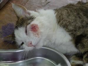 Чем лечить рану у кота после драки